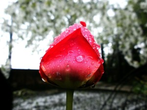 tulip-373862_1280